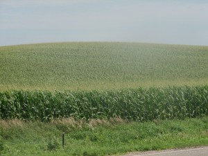 Corn fields in the heartland, toxic to wildlife