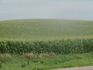 Corn fields in the heartland, toxic to wildlife