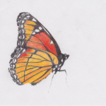 viceroy drawing