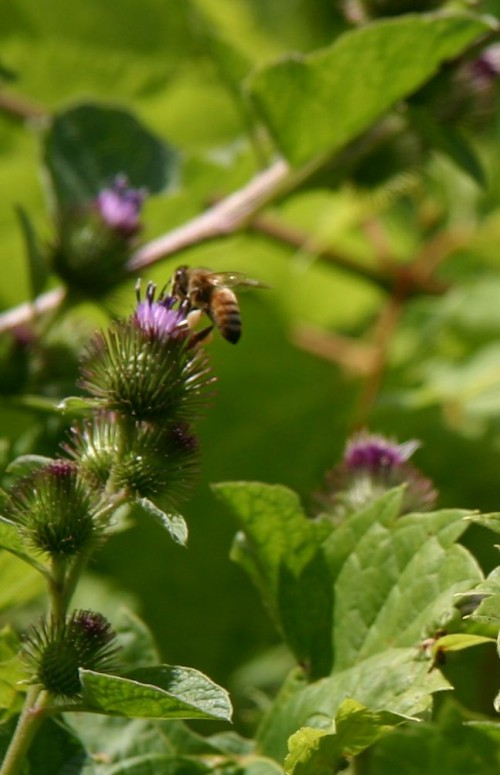 honeybee on burdock blossom