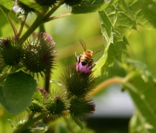 honeybee and burdock blossom