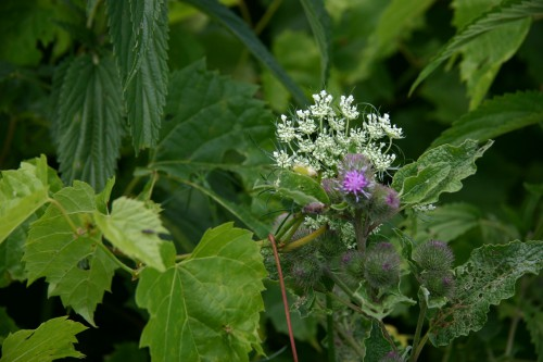 vines, burdock, Queen Anne's lace
