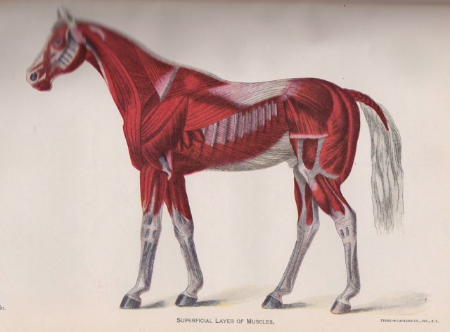 Superficial Layer of Muscles  from DISEASES OF THE HORSE, published by the U.S. Department of Agriculture, 1923