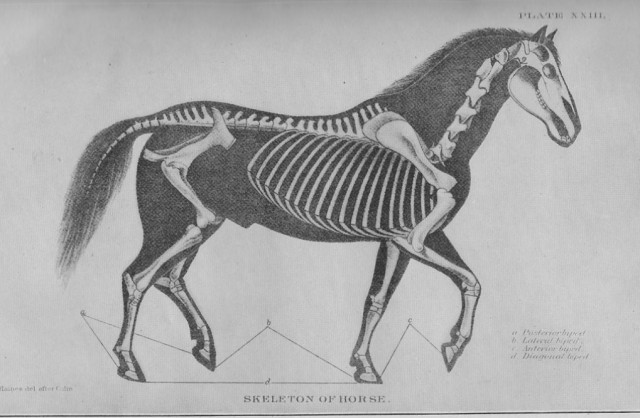 Skeleton of the Horse, from DISEASES OF THE HORSE, published by the U.S. Department of Agriculture, 1923